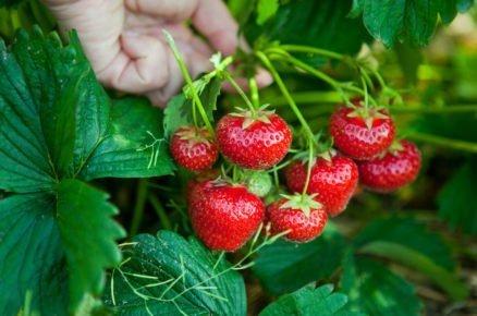 Jak se postarat o jahodiště po sběru úrody? (video)