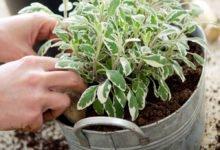 Jak si vypěstovat panašovanou šalvěj z odřezku