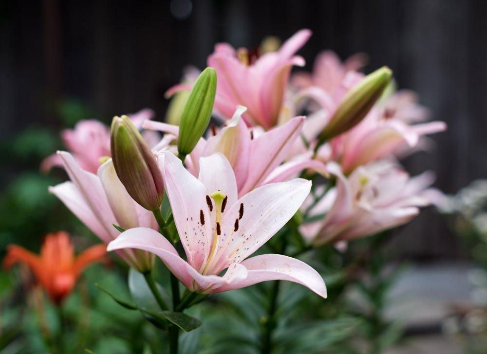 Množení lilií pomocí slupek