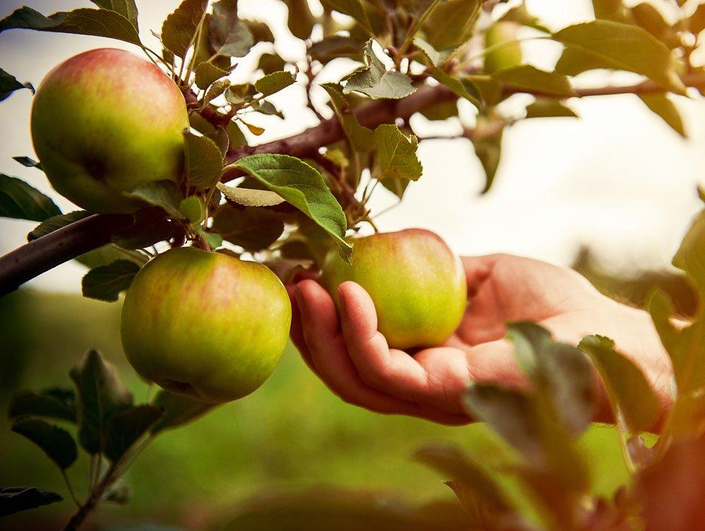 Jak správně sbírat jablka