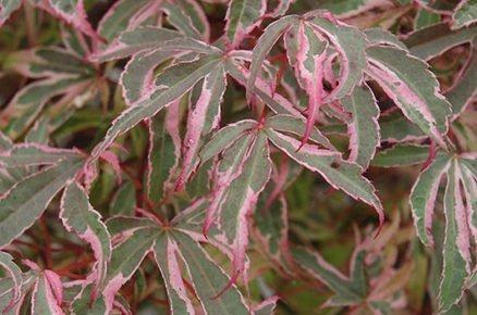 Javor dlanitolistý: Acer palmatum Shirazz