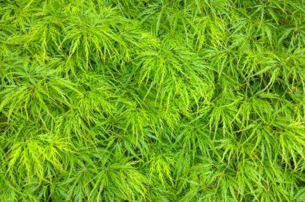 Javor dlanitolistý: Acer palmatum Dissectum Viridis