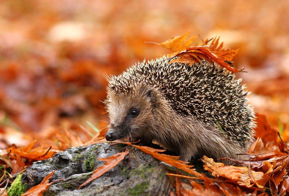 Užiteční obyvatelé zahrad - ježek