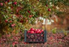 Jak se postarat o ovocné dřeviny před zimou: Sběr plodů