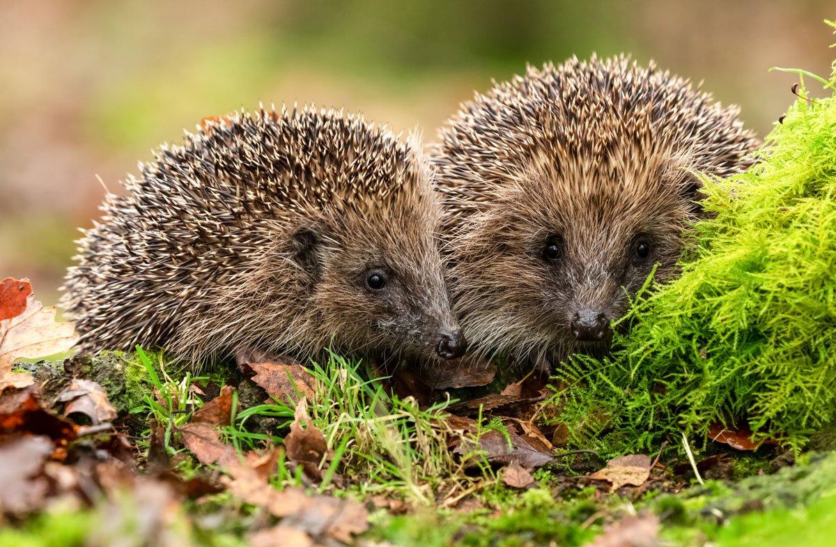 Užiteční obyvatelé zahrad - dvojice ježků