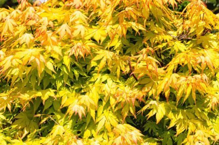 Javor dlanitolistý: Acer palmatum Orange Dream