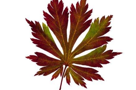 Javor japonský: Acer japonicum Aconitifolium