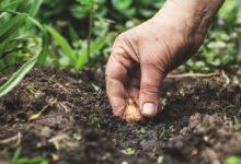Jak vysadit cibuloviny do trávníku