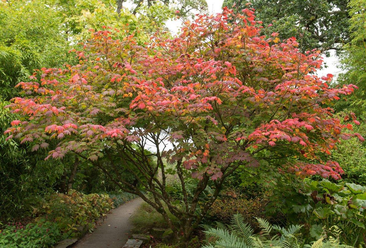 Javor japonský: Acer japonicum Vitifolium