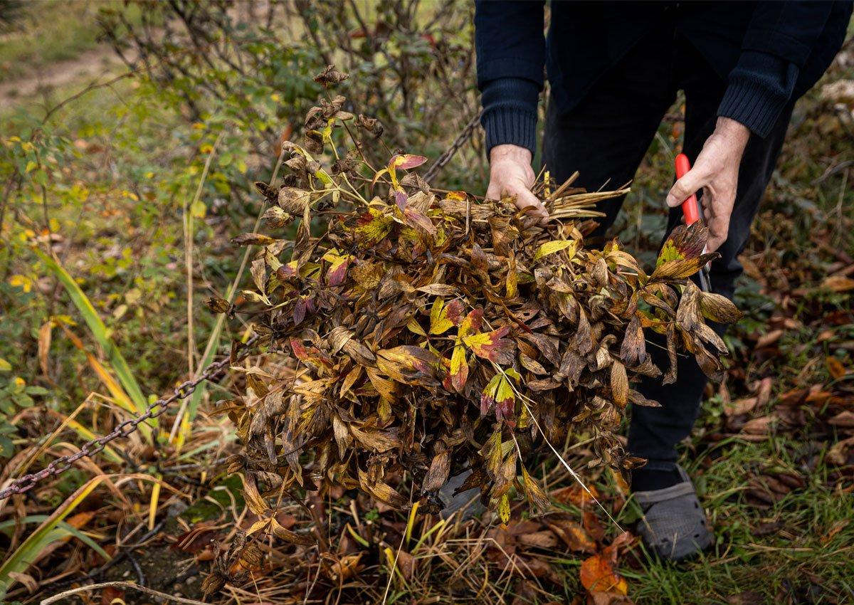 Jak se postarat o pivoňky před zimou: co s částmi odstřihnutých listů