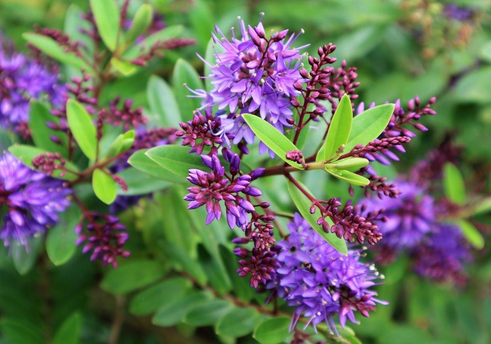 Rostlina podzimních záhonů: Pěstujeme hebeebe
