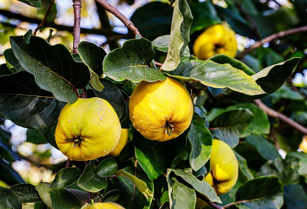 Plody kdouloně obecné