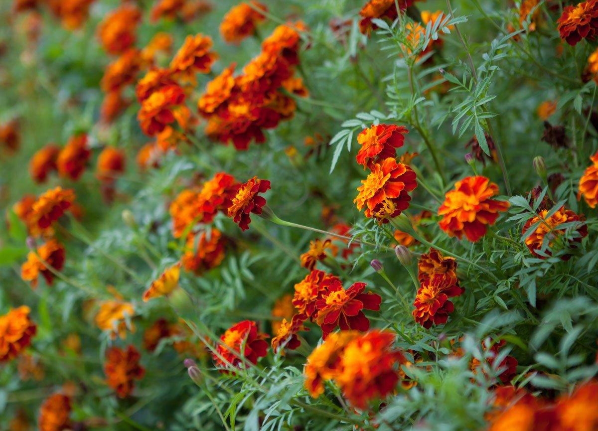 Rostliny vhodné k zahradnímu krbu: Aksamitník