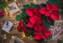 Co dělat aby vánočné květiny vykvetly do Vánoc
