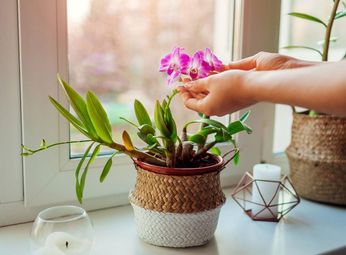 Jak docílit, aby orchidej vykvetla do Vánoc
