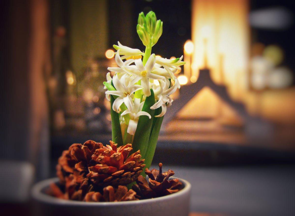Jak docílit, aby hyacint vykvetl do Vánoc