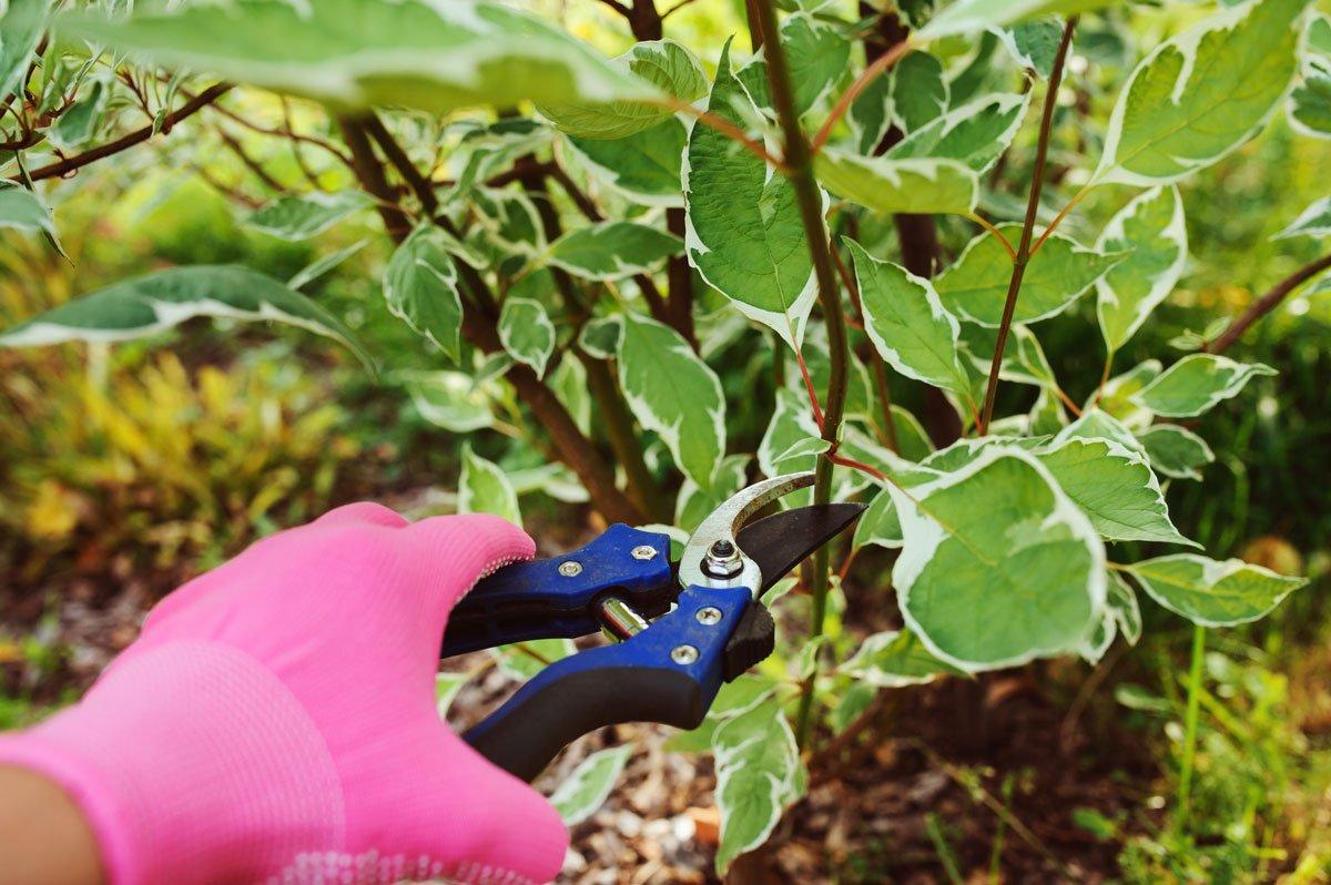 Přehled řezu dřevin a rostlin, kdy, co a jak řezat: řez dřínu