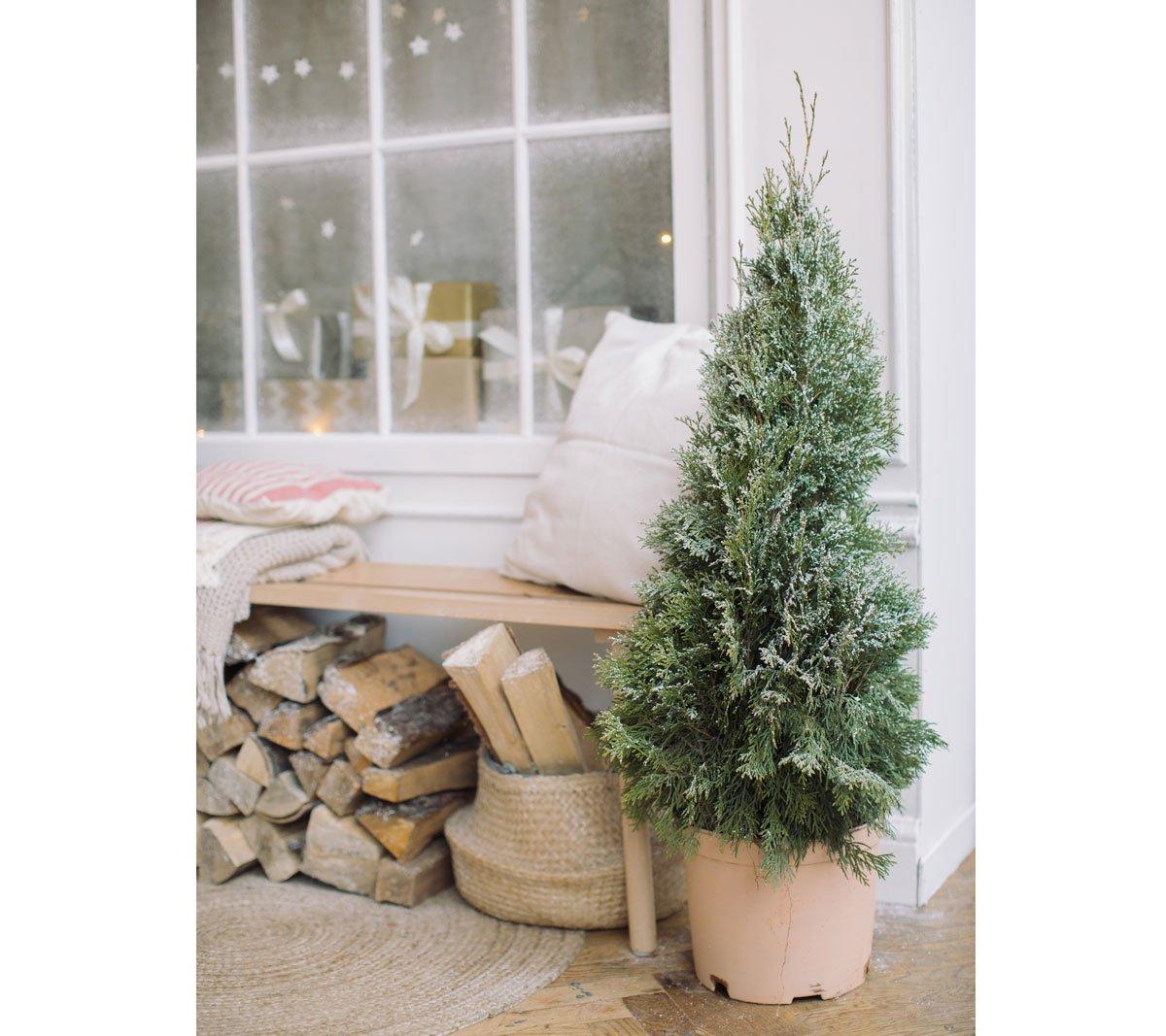 Vánoční stromek v květináči, jak o něj pečovat během i po svátcích