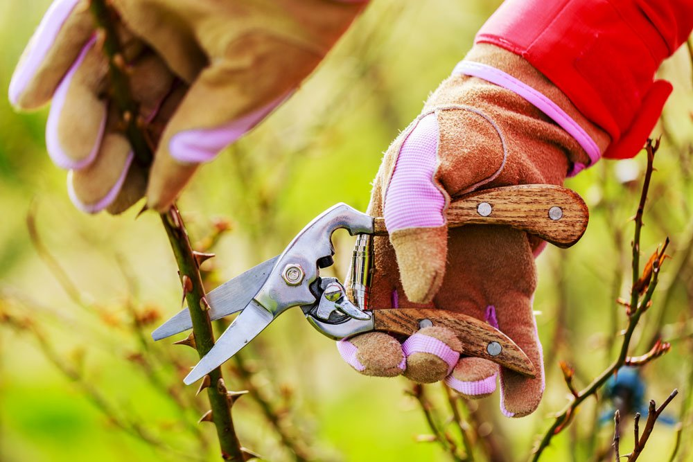 Přehled řezu dřevin a rostlin, kdy, co a jak řezat: řez růží