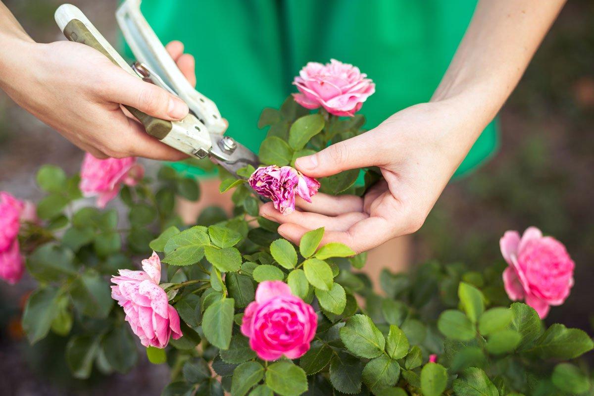 Přehled řezu dřevin a rostlin, kdy, co a jak řezat: omlazení formou odstranění odkvetlých květů