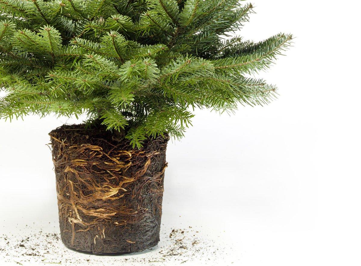 Kořenový systém vánočného stromku v květináči