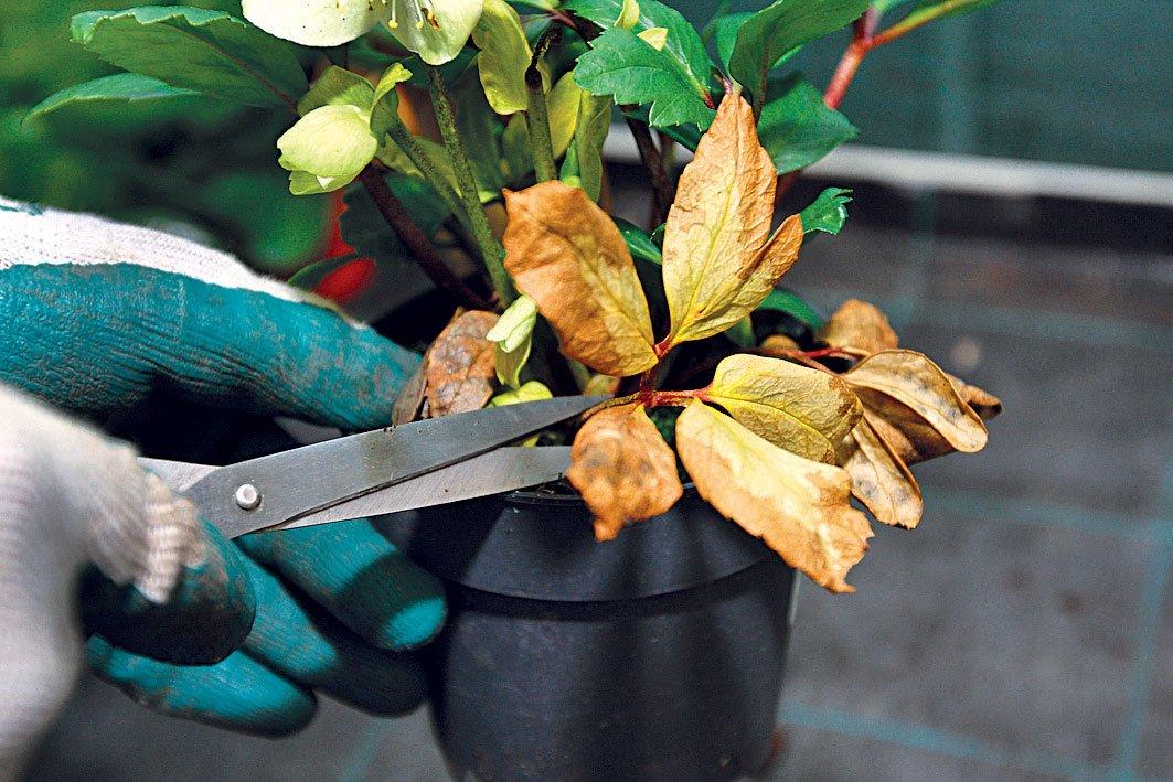 Jak vysadit čemeřici do záhonu: odstranění suchých částí