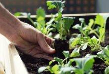 Jak se starat o předpěstované sazenice zeleniny
