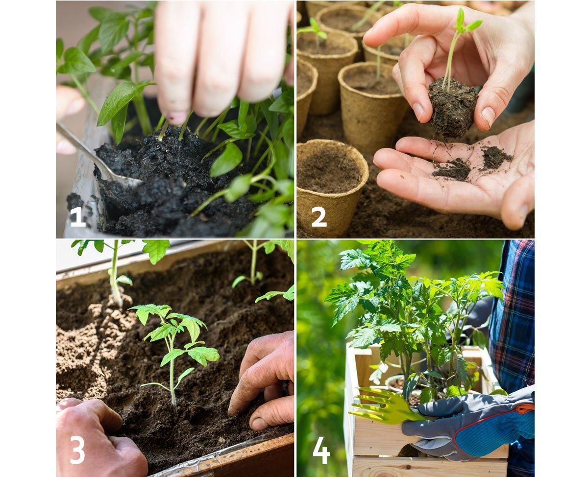 Pikýrování sazenic zeleniny, postup