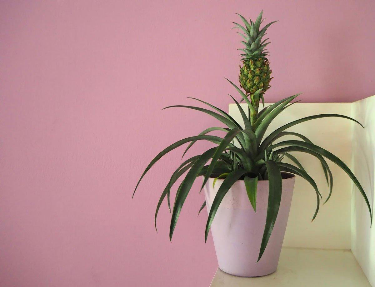 dá se vypěstovat bromélie z ananásovníku