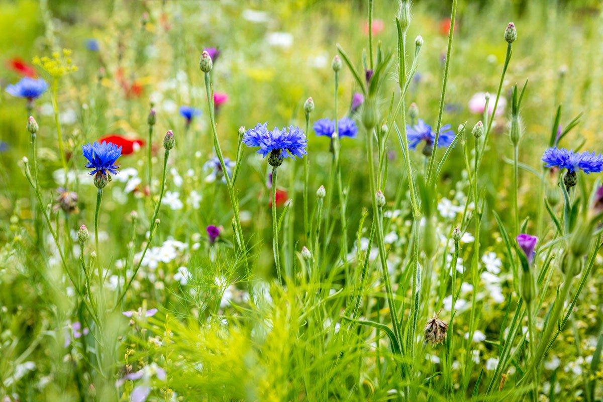 Které letničky si vypěstujete i ze semen: květinová louka