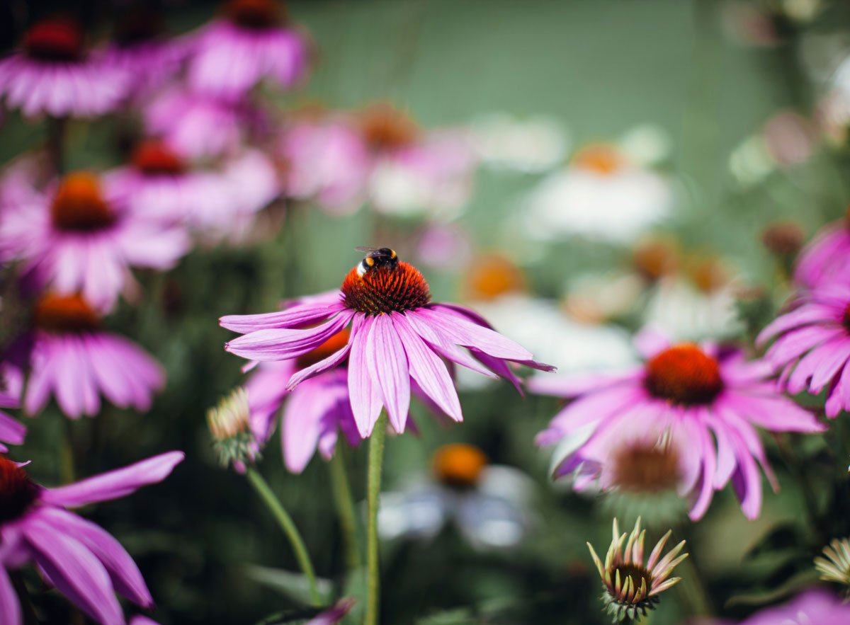 Osvědčené trvalky, které si vypěstujete ze semen: Třapatka nachová