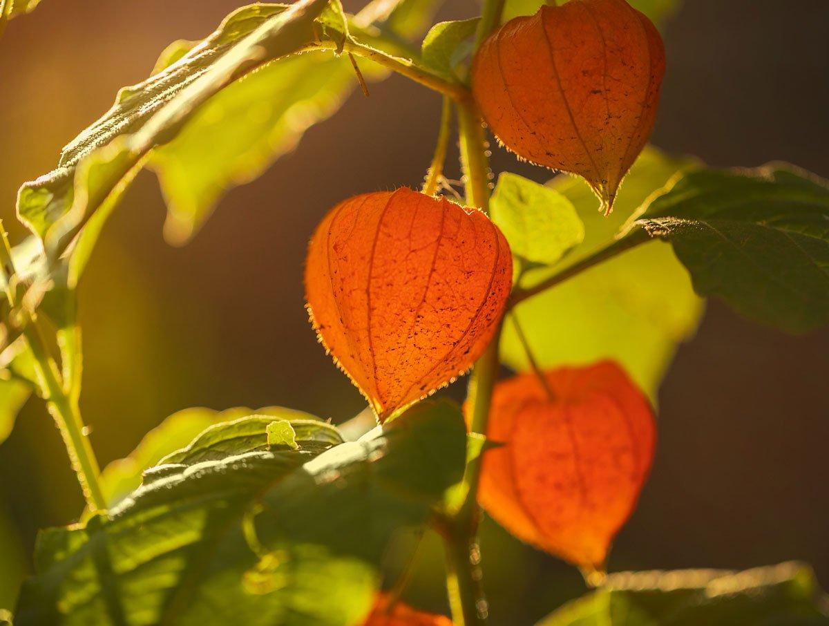 Osvědčené trvalky, které si vypěstujete ze semen: Mochyně židovská