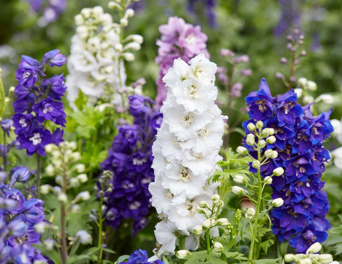 Osvědčené trvalky, které si vypěstujete ze semen: Stračka