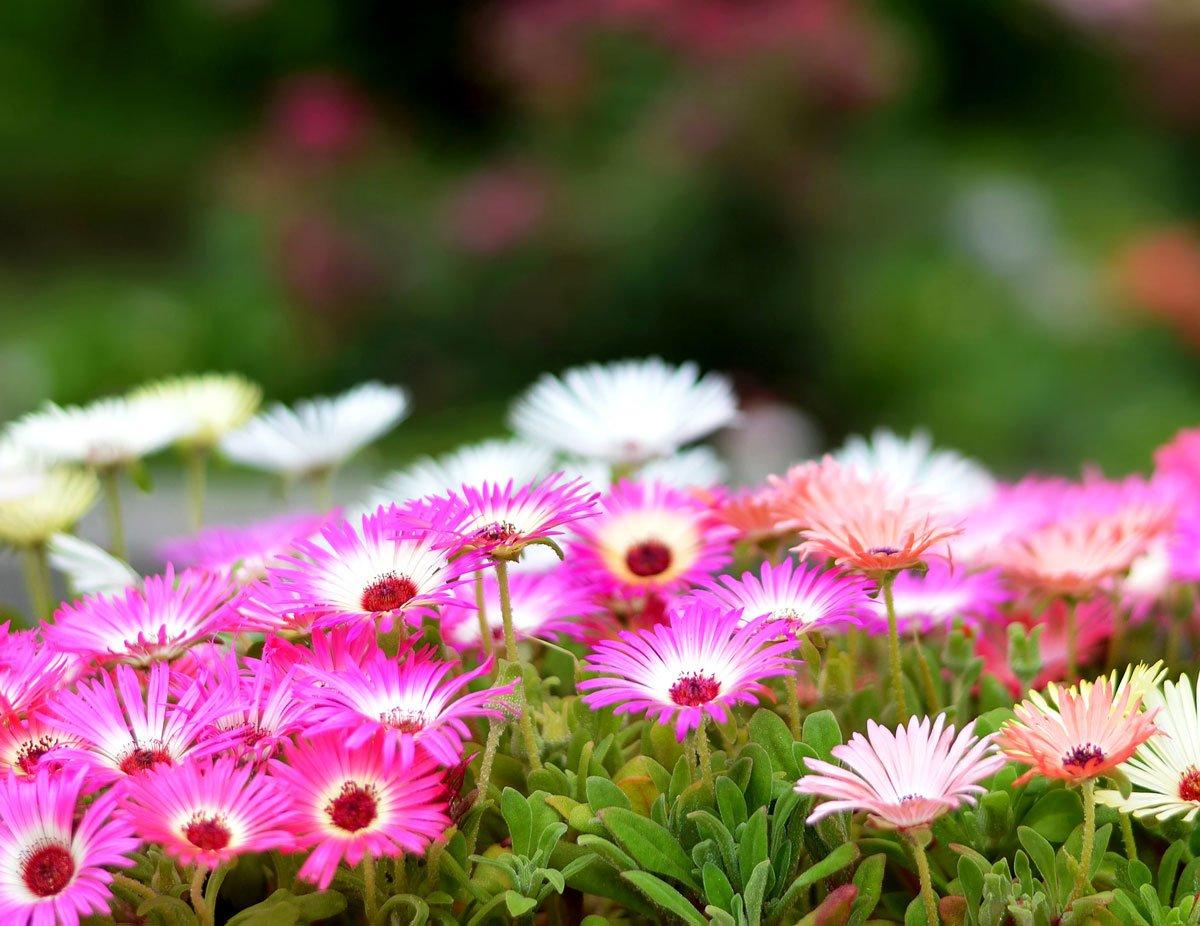 Které letničky si vypěstujete i ze semen: Kosmatec sedmikráskový