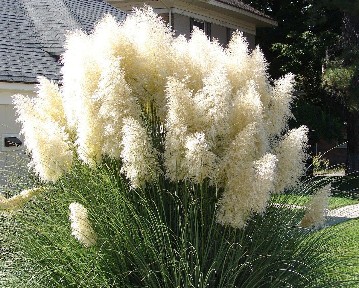 Osvědčené trávy, které si vypěstujete ze semen: Kortadérie