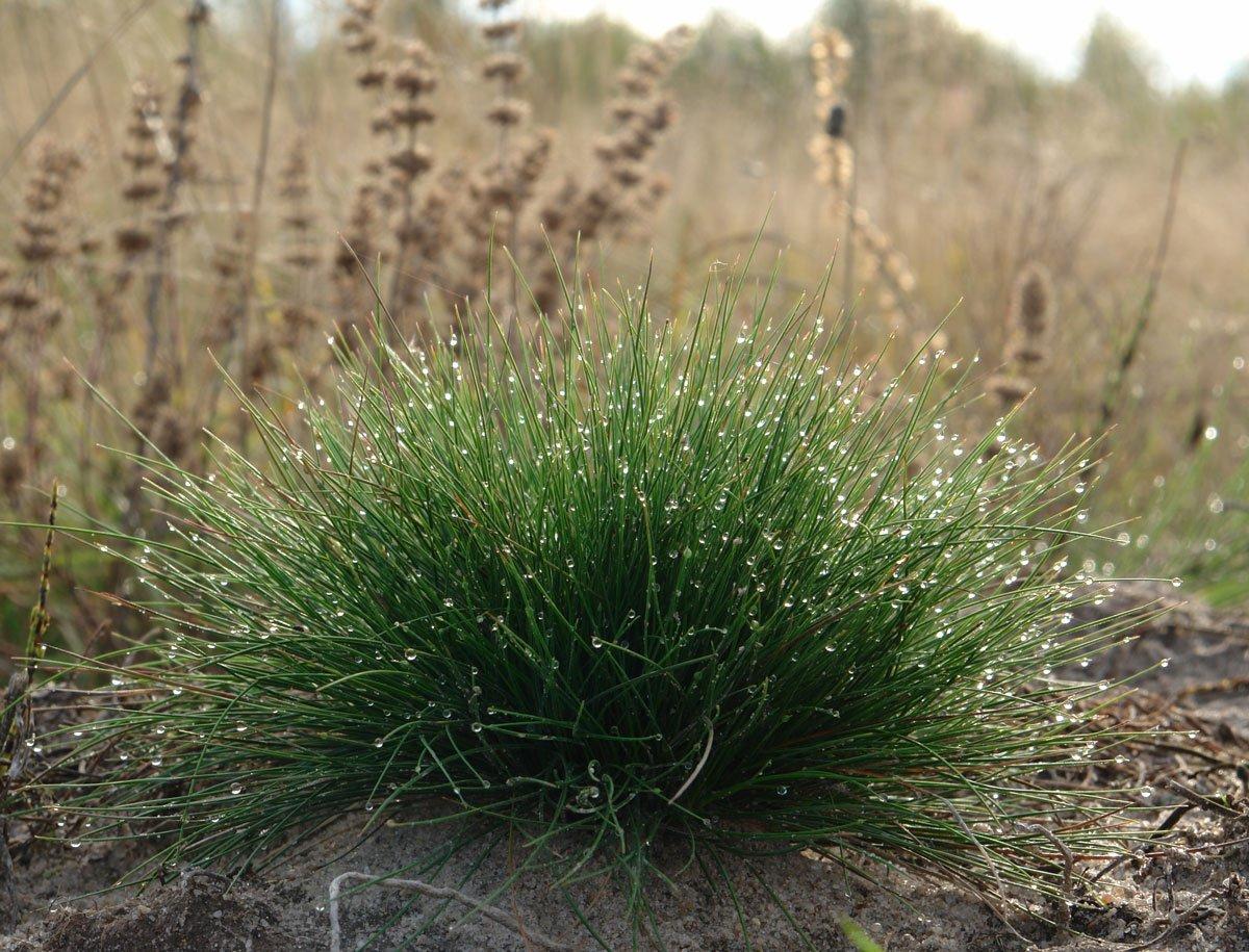 Osvědčené trávy, které si vypěstujete ze semen: Kostřava ovčí
