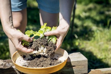 Výsadba salátu: umístění na misku