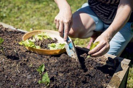 Výsadba salátu: vysazení