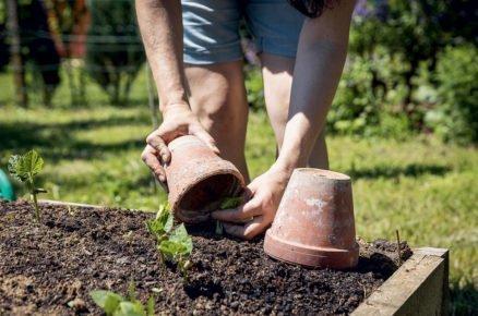 Výsadba salátu: ochrana salátu květináčem