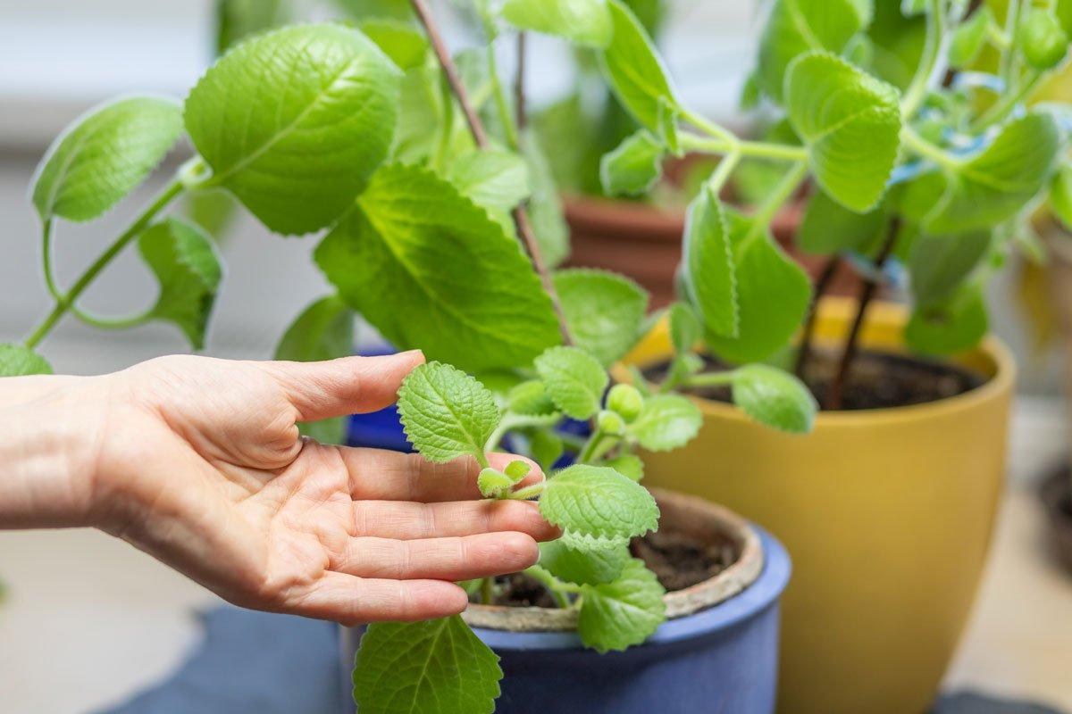 jak využít a pěstovat rýmovník