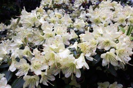 Pěstování azalek: Pěnišník japonský, Azalea japonica 'Palestrina'
