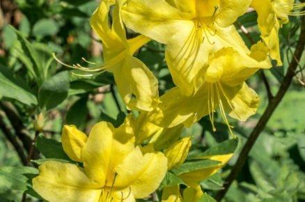 Pěstování azalek: Pěnišník měkký , Azalea mollis 'Anneke'