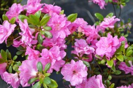 Pěstování azalek: Pěnišník japonský, Azalea japonica 'Rosinetta'