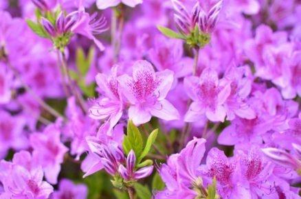 Pěstování azalek: Pěnišník japonský, Azalea japonica 'Blue Danube'