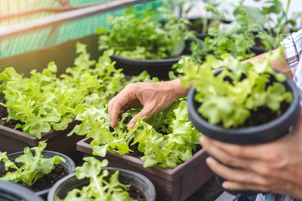 jak vysadit salát