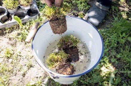 založení vřesoviště: Namočení kořenového balu