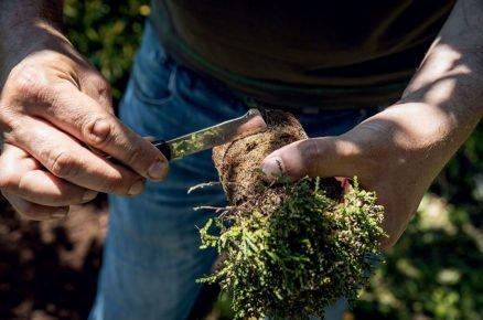 založení vřesoviště: Přeřezání kořenů
