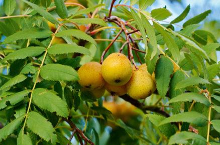 Ovocné dřeviny do zahrady: Jeřáb oskeruše