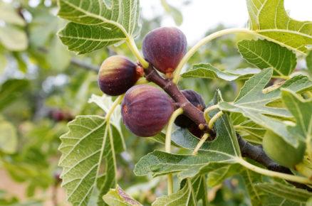 Ovocné dřeviny do zahrady: Fíkovník smokvoň