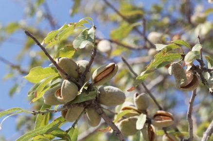Ovocné dřeviny do zahrady: Mandloň obecná